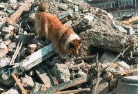 Suche - Hund bei der Suche nach Verschütteten