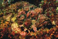 Tarnung - Tarnung eines Steinfisches
