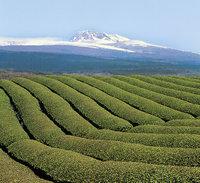 Tee - Plantage mit Tee