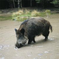 Teller - Wildschwein mit zwei Tellern