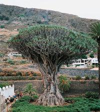 Teneriffa - Landschaft (mit Drachenbaum) auf Teneriffa
