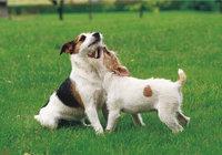 Terrier - Terrier mit Welpen