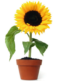 Topf - Sonnenblume in einem Topf