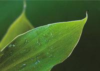 Tropfen - Mehrere Tropfen auf einem Blatt