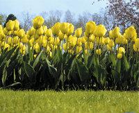 Tulpe - Gelbe Tulpen