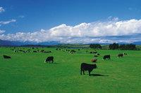 Vieh - Vieh auf der Weide
