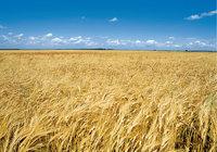 Weizen - Angebauter Weizen auf einem Feld