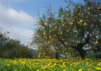 Zitronenbaum