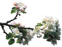 Zweig - Zweig mit Blüten